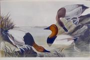 Canvas Backed Duck. by John James Audubon